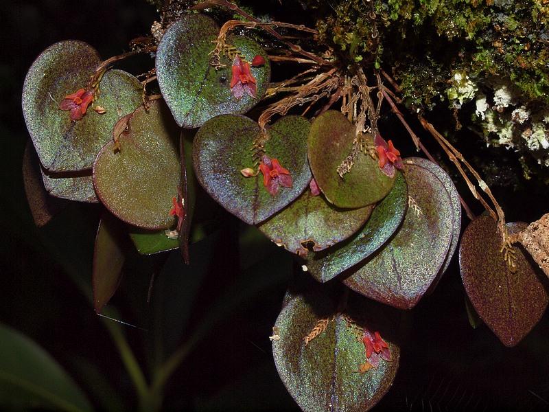 lepanthes ruscifolia 04611