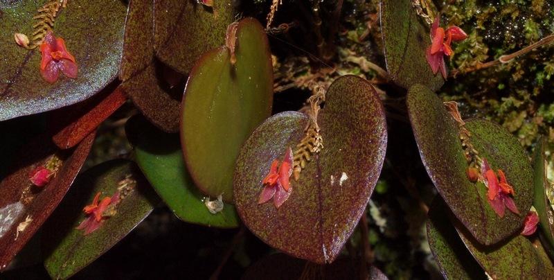 lepanthes ruscifolia 05010