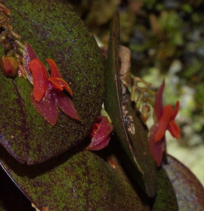 lepanthes ruscifolia 05211