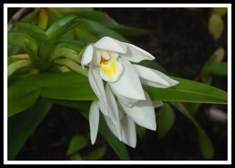 Maxillaria camaridii 10110