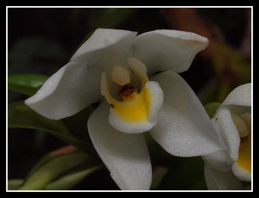 Maxillaria camaridii 104_210