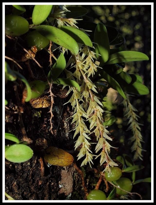 bulbophyllum nutans P7118910