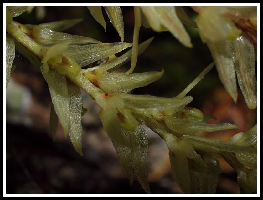bulbophyllum nutans P7118912