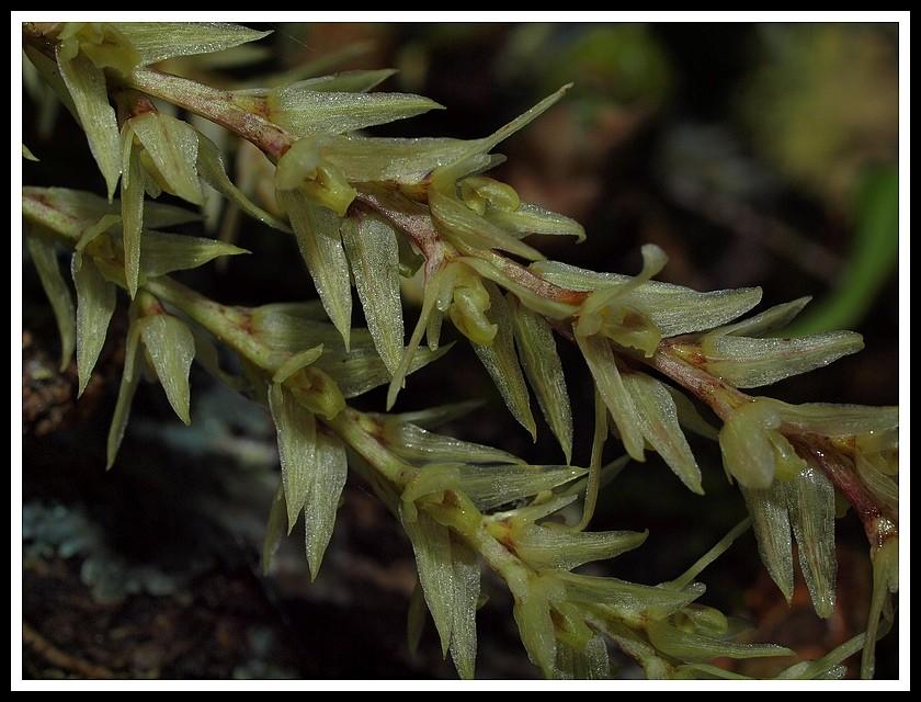 bulbophyllum nutans P7118914