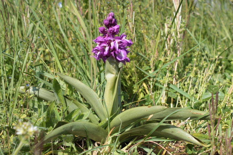 [Orchis mâle (Orchis mascula)] ID orchidée Img_3110