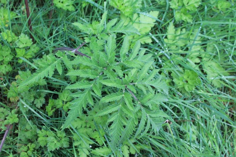 ID Apiaceae (Heracleum sphondylium) Img_3310