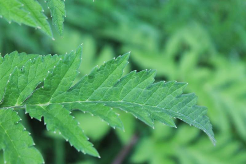 ID Apiaceae (Heracleum sphondylium) Img_3311