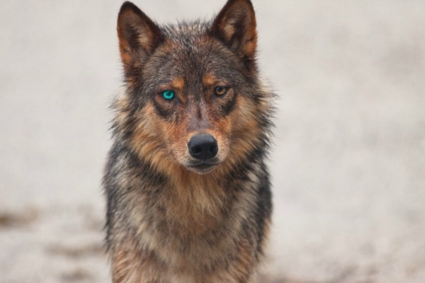 Alphess Belle of Caimath Wolf10