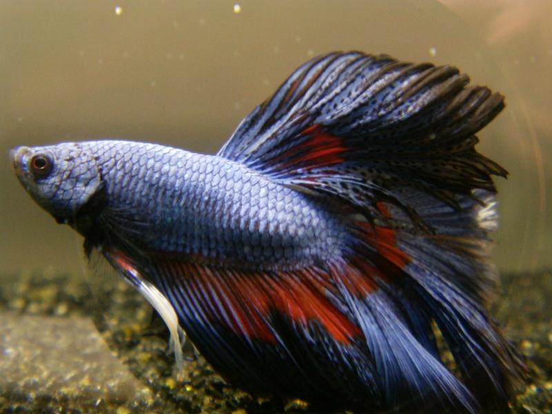 Ma 1ER repro HM Multi Bleu/rouge/noir/blanc X CT bleu roi Imag0110