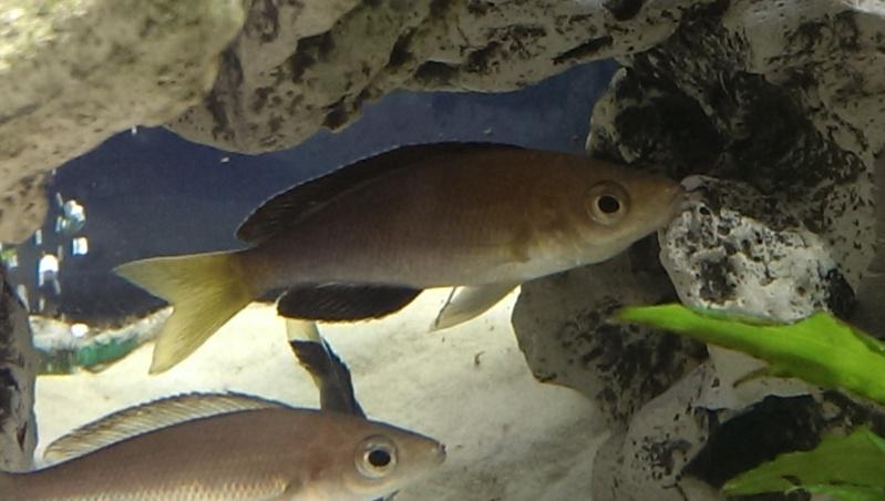 cyprichromis leptosoma jumbo yellow head Cypric10