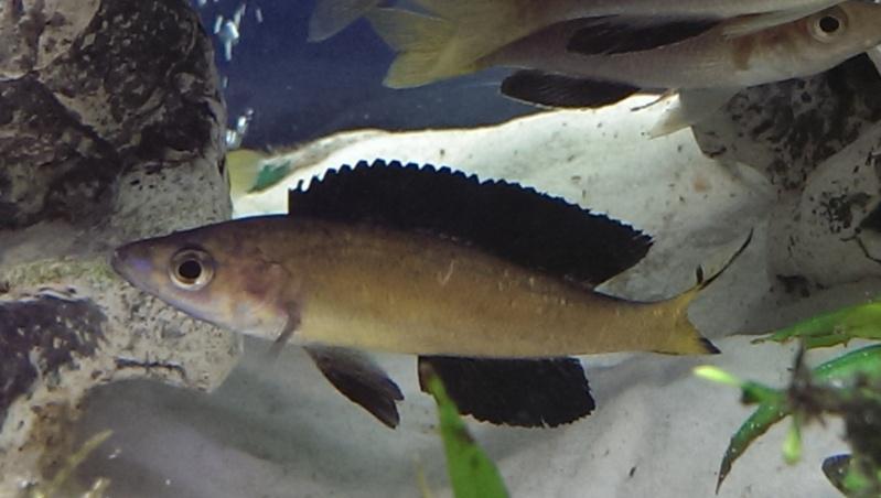 cyprichromis microlepidotus kasai Cypric12