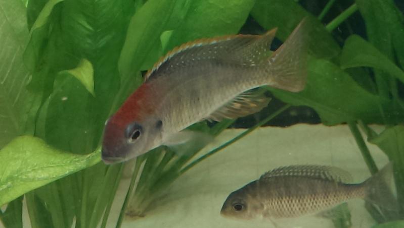 lethrinops red cap itungi Imag0012