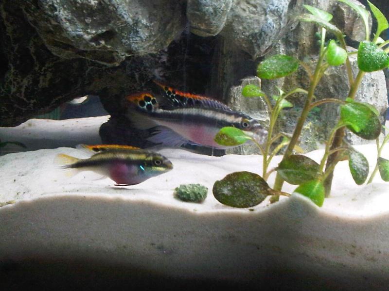 recherche du nom de mes poissons 4 Pelvic10