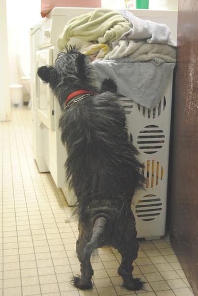 Non adoptable pour l'instant- PEPSI- ( Cani-nursing) Pepsi-10