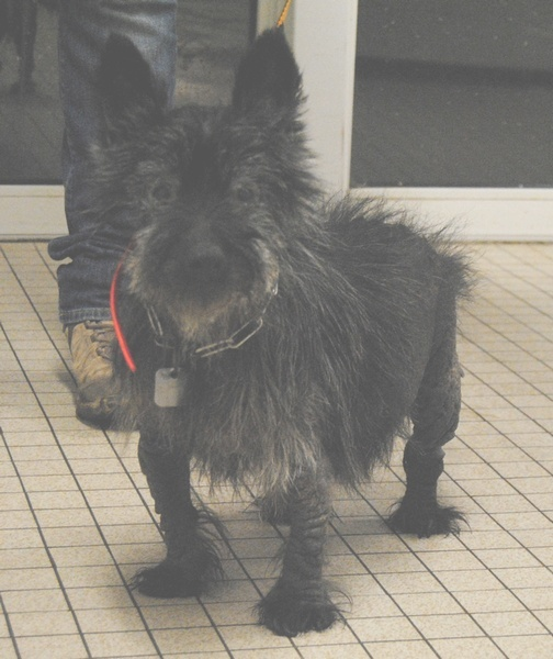 Non adoptable pour l'instant- PEPSI- ( Cani-nursing) Pepsi-12