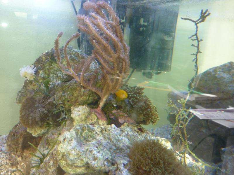 Choix de poissons pour Nano 60L P1120113