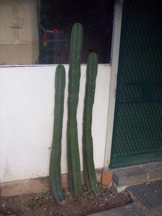 Trichocereus Scopulicola for sale 101_2419