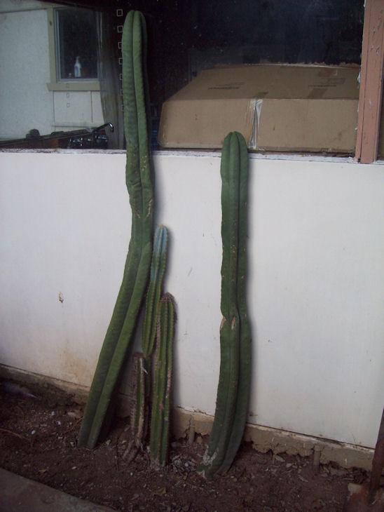 Trichocereus Scopulicola for sale 101_2420