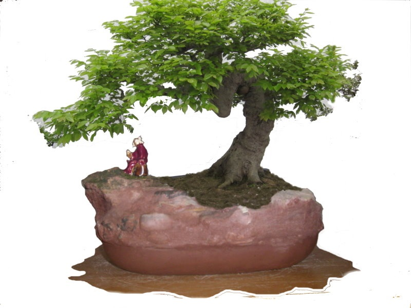 A pine bonsai with a DIY cement pot Cpb-1012
