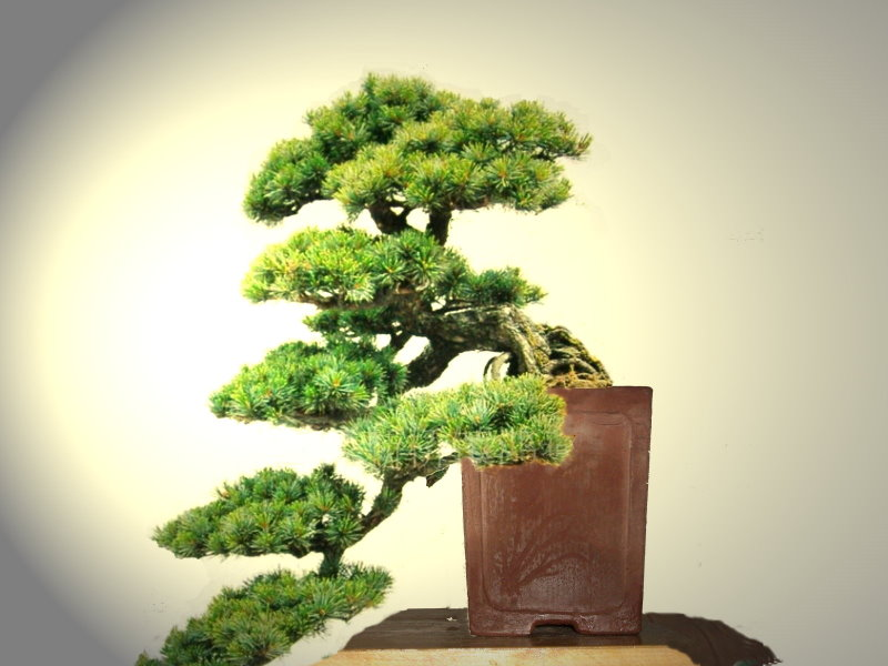 A pine bonsai with a DIY cement pot Cpb-510