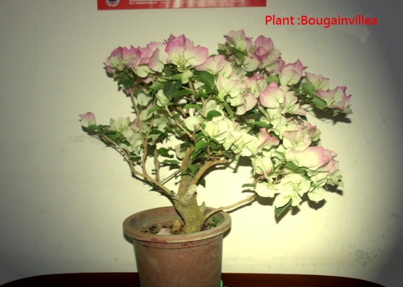 A pine bonsai with a DIY cement pot Diy_pp14