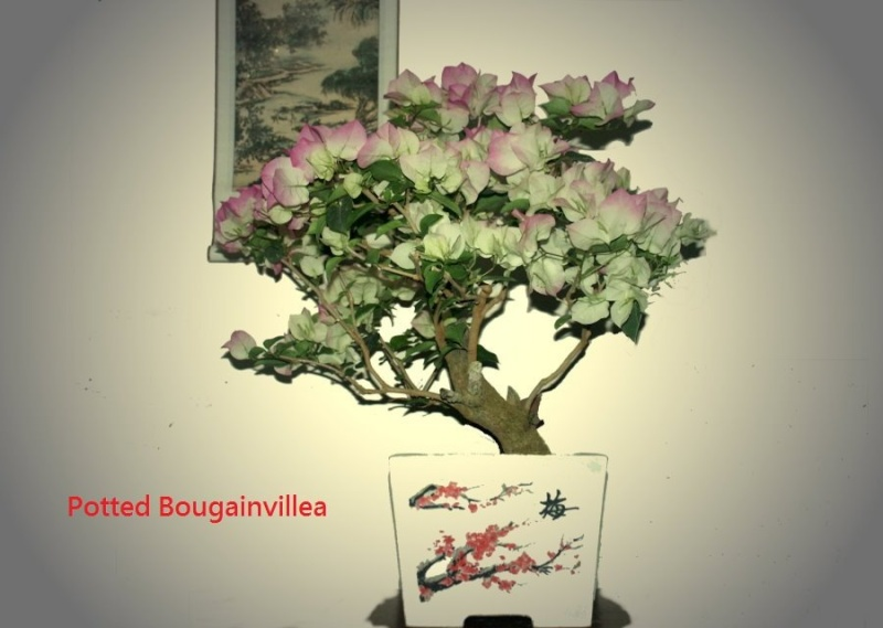 A pine bonsai with a DIY cement pot Diy_pp15