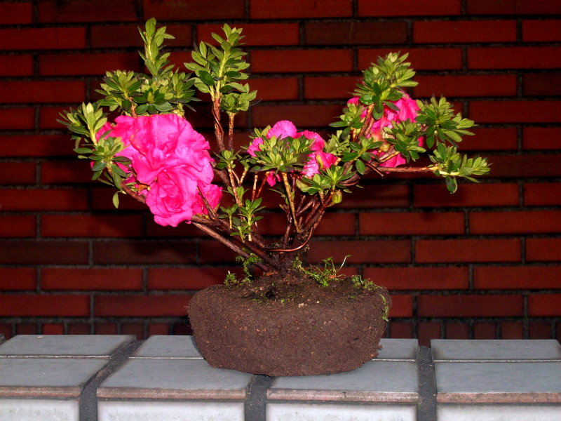 Classical and romantic Rhododendron ferrugineum bonsai Rf-110