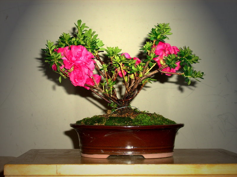 Classical and romantic Rhododendron ferrugineum bonsai Rf-310