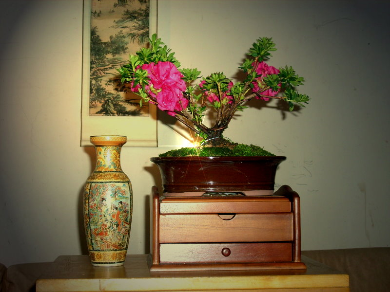 Classical and romantic Rhododendron ferrugineum bonsai Rf-410