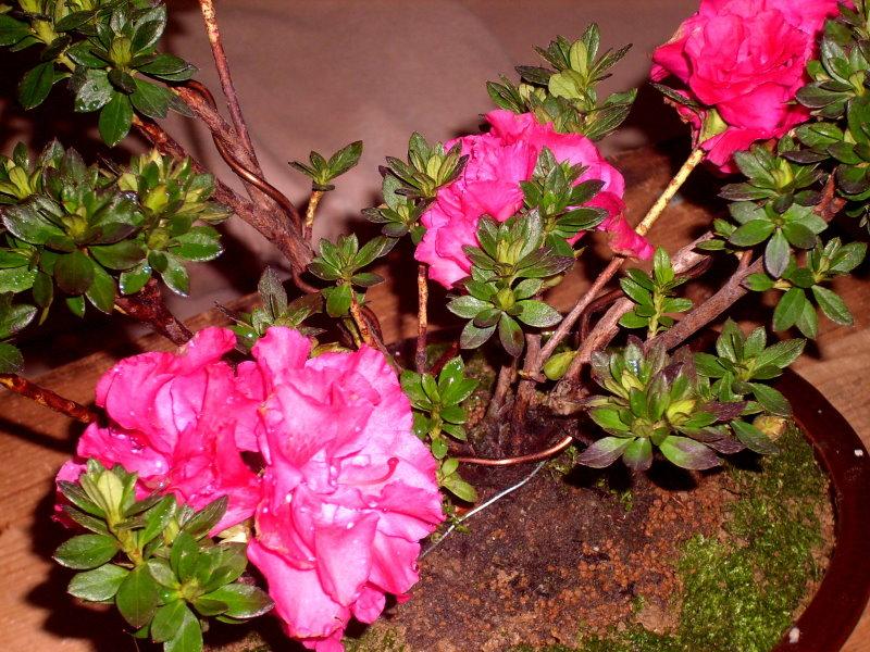 Classical and romantic Rhododendron ferrugineum bonsai Rf-510