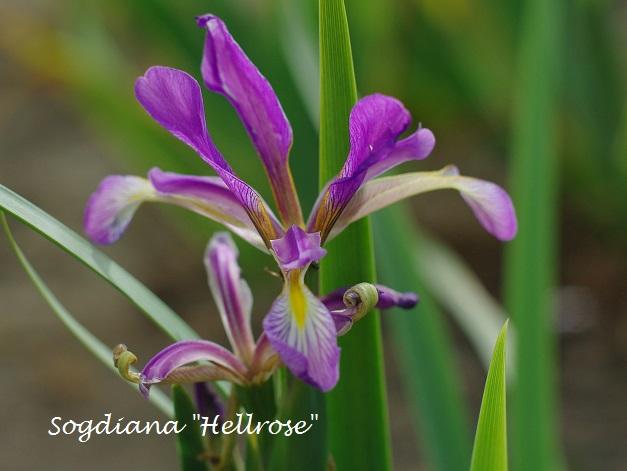 Spurias botaniques Sogdia10