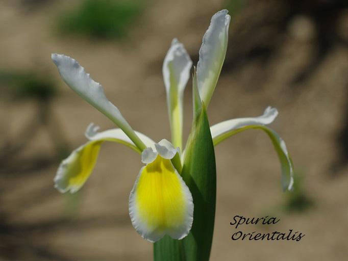 Spurias botaniques Spuria11