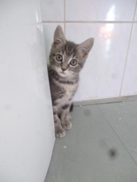 Loustique - Un amour de chatonne grise P1050010