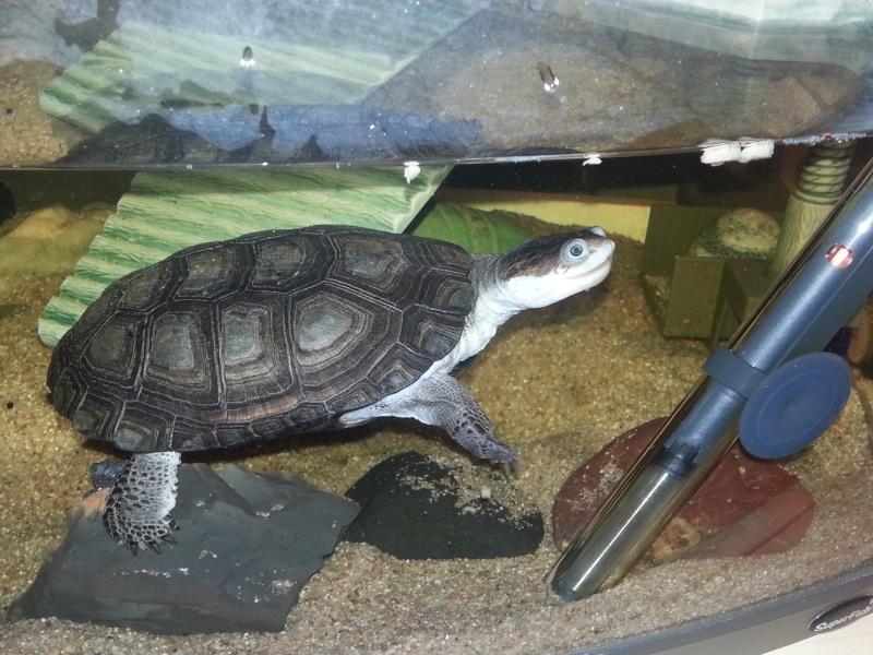 doute sur l espèce de ma tortue d'eau  20130513