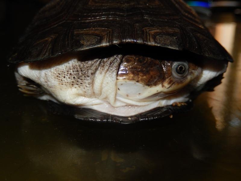 doute sur l espèce de ma tortue d'eau  Dscn0419