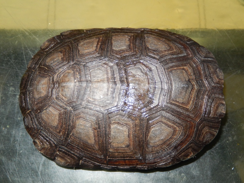 doute sur l espèce de ma tortue d'eau  Dscn0420