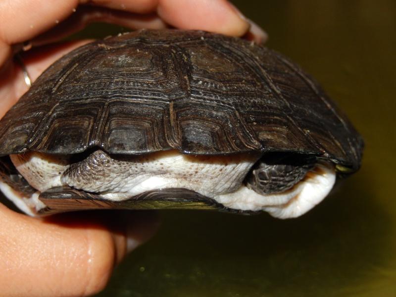 doute sur l espèce de ma tortue d'eau  Dscn0422