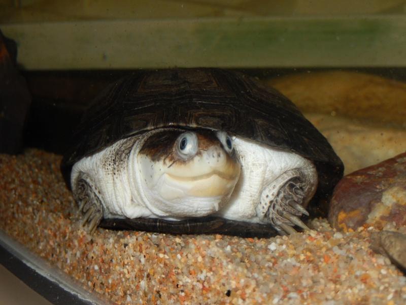 doute sur l espèce de ma tortue d'eau  Dscn0423