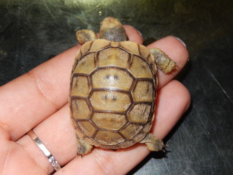 doute sur l espèce de ma tortue d'eau  Dscn0424