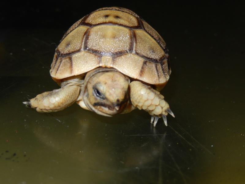doute sur l espèce de ma tortue d'eau  Dscn0425