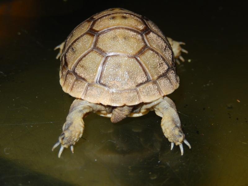 doute sur l espèce de ma tortue d'eau  Dscn0426
