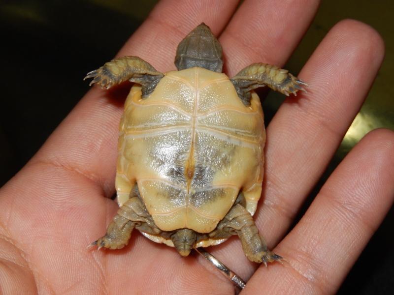 doute sur l espèce de ma tortue d'eau  Dscn0427