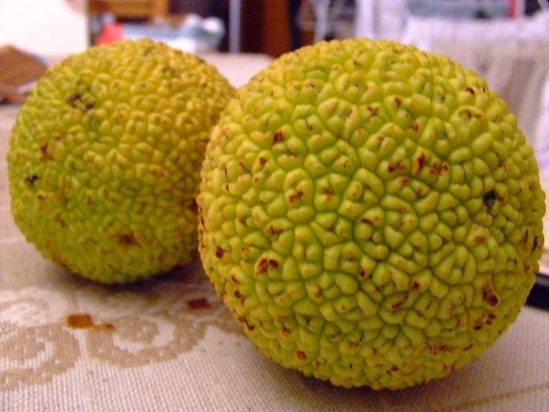 Identification arbre/fruits Maclura pomifera Divers14