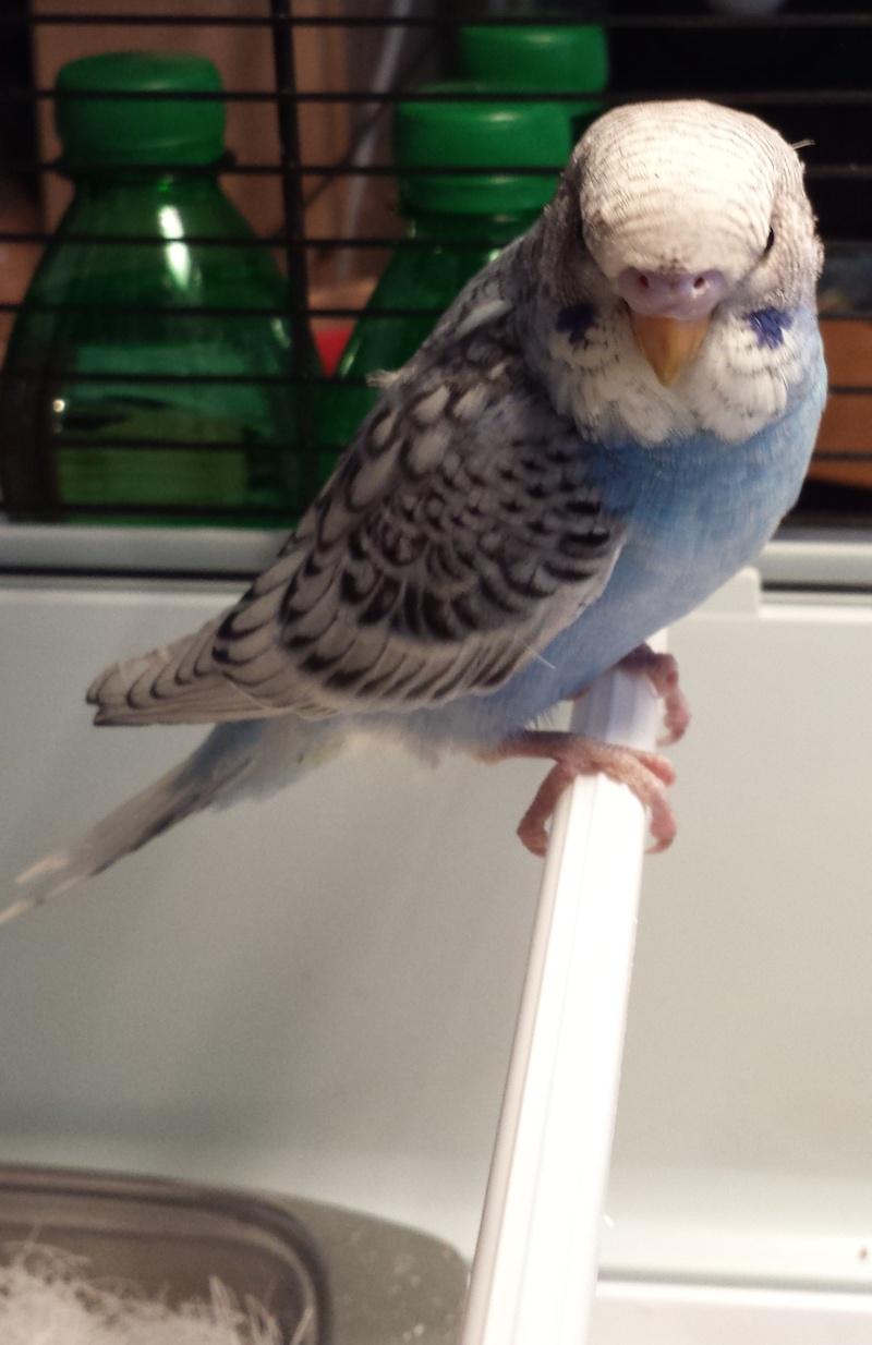 mâle ou femelle ma perruche ? Blue_110