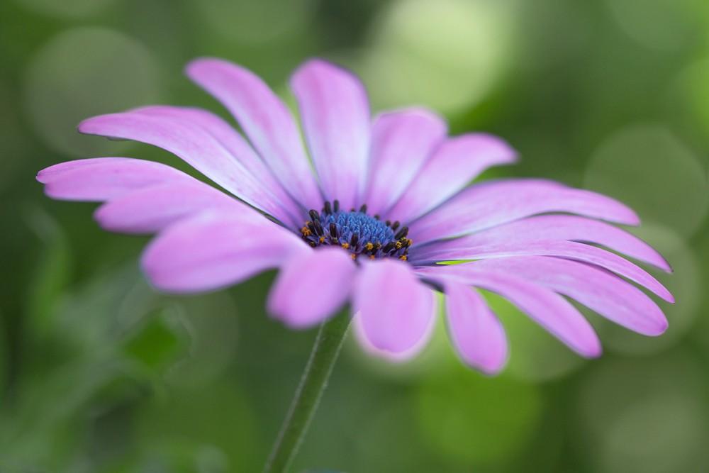 Fleurs  Cosmos12