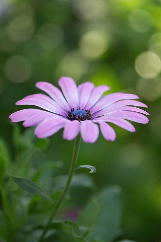 Fleurs  Cosmos14