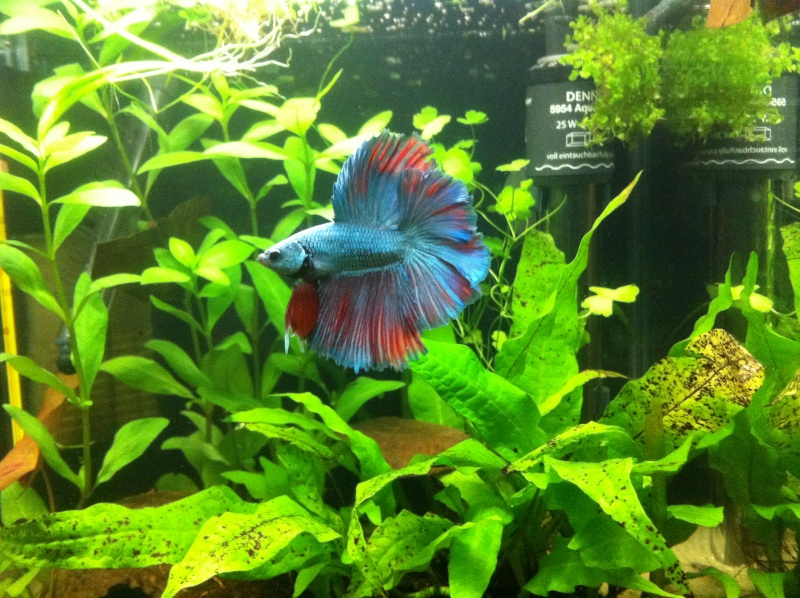 Jeune mâle bleu métallique Img_0430