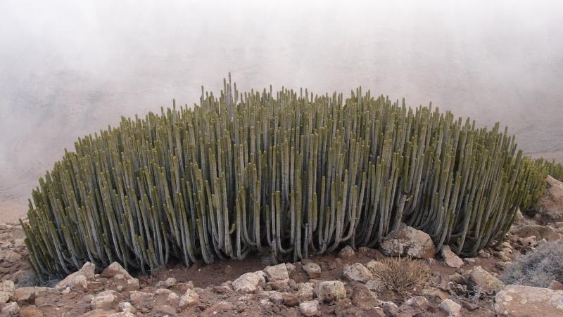Euphorbia canariensis P8181310