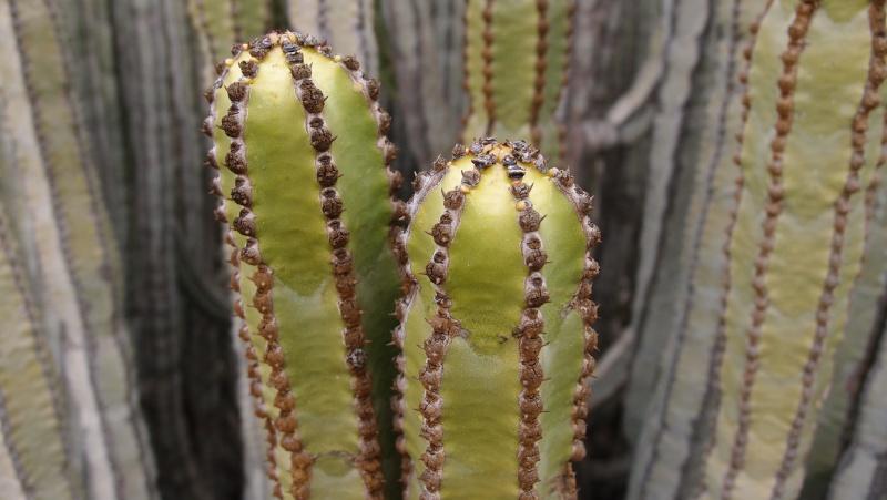 Euphorbia canariensis P8181313