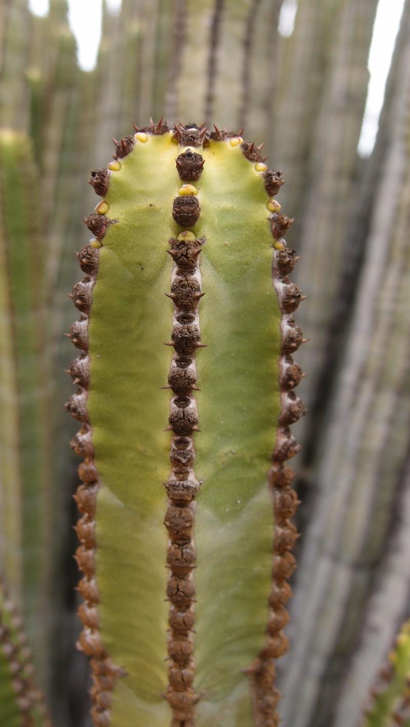 Euphorbia canariensis P8181314